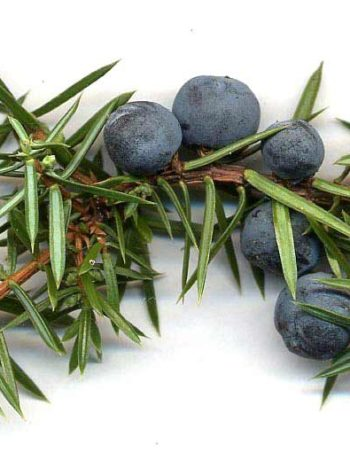 Juniper berries for use in all types of gin