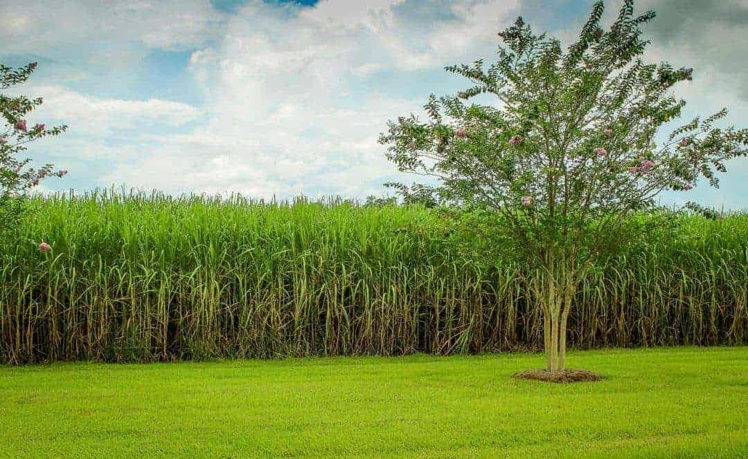 field of sugarcane - history of rum
