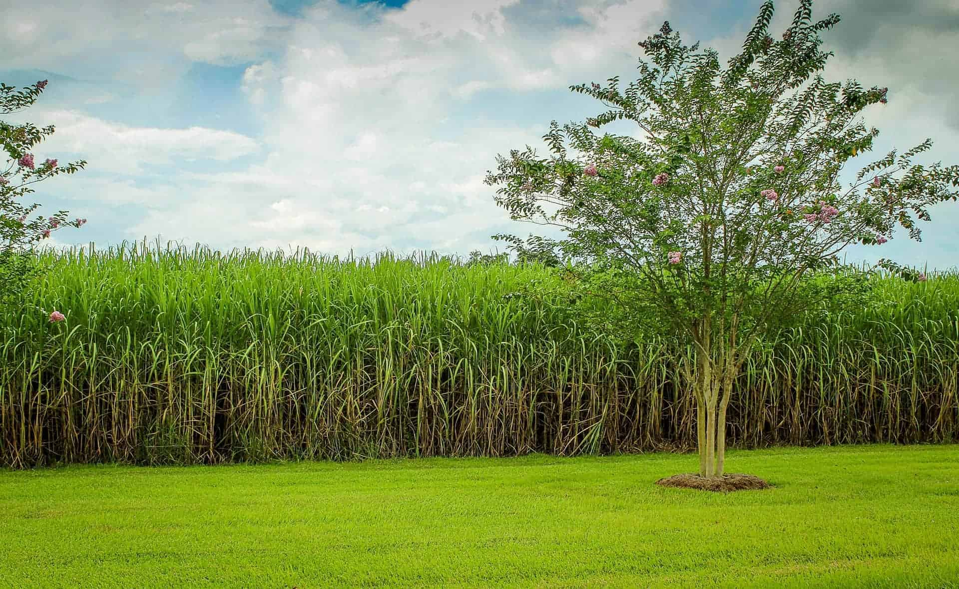 field of sugarcane - history of rum