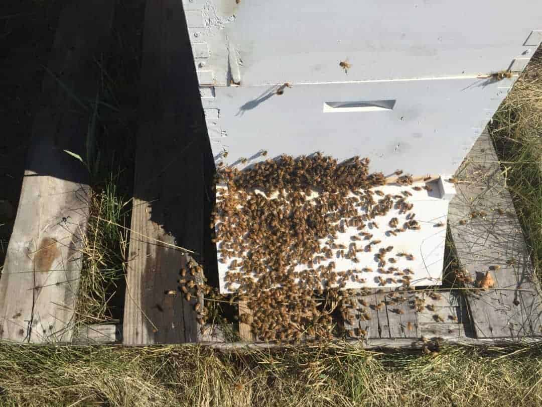 bee keeping - angry hive