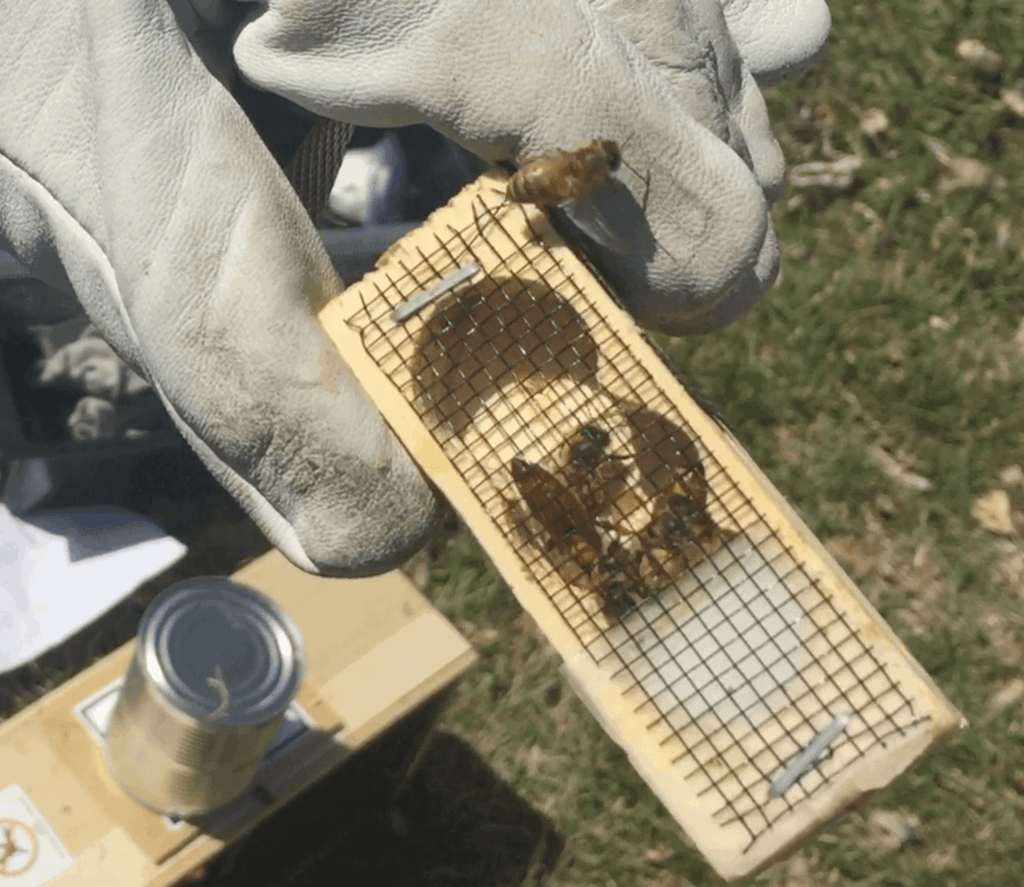 The queen bee in a queen cage before she is released into her hive