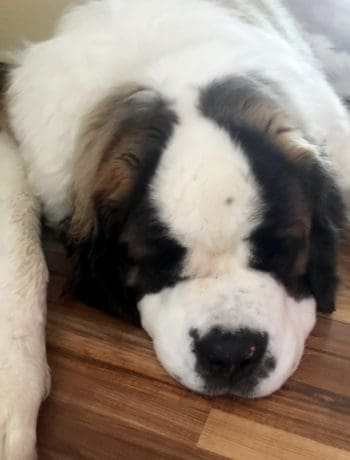 Kate Winslet the St. Bernard